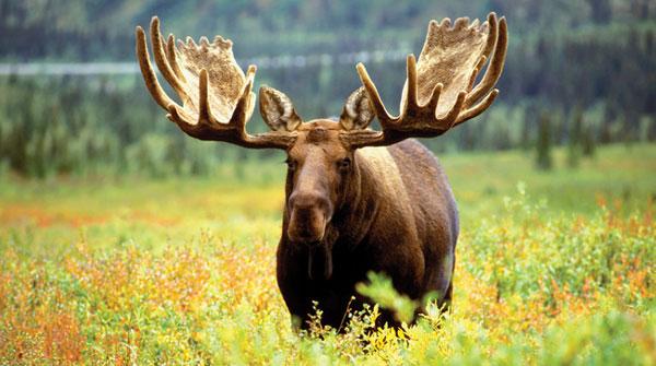 Alaskan-Moose
